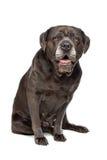 Rottingcorsohund Arkivbild