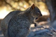 Quokkas into the wild. Rottnest Island. Western Australia. Australia. Rottnest Island is an island off the coast of Western Australia, located 18 kilometres west Stock Images