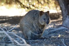 Quokka. Rottnest Island. Western Australia. Australia. Rottnest Island is an island off the coast of Western Australia, located 18 kilometres west of Fremantle Stock Image
