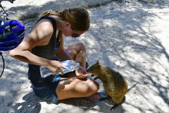 Australia, Zoology, Quokka feeding. Rottnest Island, WA, Australia - November 27, 2017: Unidentified woman feeding quokkas with water, a kind of small marsupials Royalty Free Stock Image