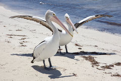 Rottnest Pelican. Two pelicans on beach, one with wings outstretched, with the Indian Ocean water at Rottnest Island in remote Western Australia Stock Images