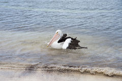 Rottnest Pelican. Wild black and white pelican swimming in the Indian Ocean water at Rottnest Island in remote Western Australia Royalty Free Stock Photography
