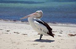 Rottnest pelikan i profil Fotografering för Bildbyråer