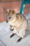 Rottnest Quokka. Full length view of quokka, native marsupial, at Rottnest Island in Western Australia Stock Photography