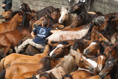 Rottura dei cavalli Immagini Stock