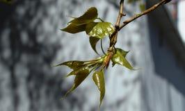Rottura del germoglio della primavera degli arbusti e degli alberi Fotografie Stock
