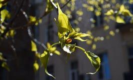 Rottura del germoglio della primavera degli arbusti e degli alberi Immagine Stock Libera da Diritti
