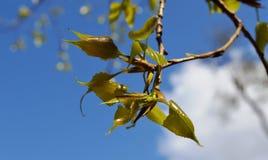 Rottura del germoglio della primavera degli arbusti e degli alberi Fotografie Stock Libere da Diritti
