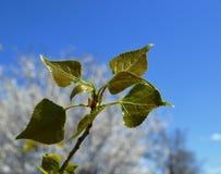 Rottura del germoglio della primavera degli arbusti e degli alberi Immagini Stock