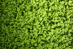 rotture di soleirolii del soleirolia della pianta dell'erba di angelo Fotografia Stock
