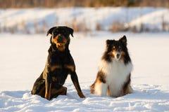 Rottweiler和坐在雪的设德蓝群岛牧羊犬在冬天 免版税库存照片