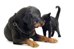 Rottweiler和猫 免版税库存图片