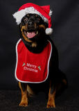 Rottweiler圣诞节 库存图片