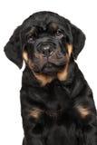 Rottweiler在白色隔绝的小狗 库存图片