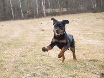 Rottweiler在草甸跑 免版税库存图片
