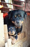 Rottweiler家庭 库存图片