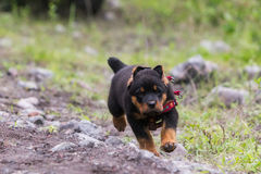 Rottweiler小狗赛跑 免版税库存照片