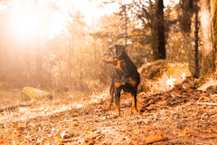 Rottweiler小狗 库存照片