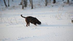 Rottweiler拳击手混合吹雪冬天 免版税库存图片