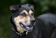Rottweiler牧羊人混合了品种狗外面在皮带 免版税图库摄影