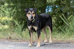 Rottweiler牧羊人混合了品种狗外面在皮带 免版税库存图片