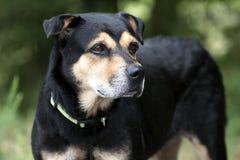 Rottweiler牧羊人混合了品种狗外面在皮带 免版税库存照片