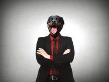 Rottweiler狗装饰了作为正式商人 免版税库存图片