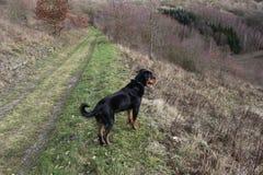 Rottweiler狗观看 免版税库存图片