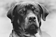 Rottweiler狗头黑白照片 免版税库存照片