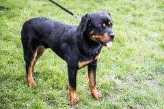 Rottweiler σε ένα λουρί Στοκ Φωτογραφίες