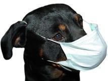rottweiler маски Стоковая Фотография