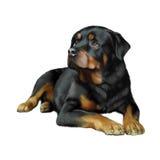Rottweiler перед белой предпосылкой Стоковые Фото