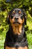 rottweiler придурковатое Стоковая Фотография RF