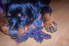 Rottweiler щенка в доме Стоковая Фотография