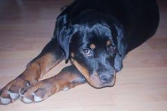 Rottweiler щенка в доме Стоковое фото RF