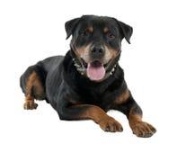 Rottweiler (12 meses) Fotos de archivo