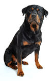 Rottweiler Foto de Stock Royalty Free