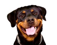 Rottweiler. Portrait of Rottweiler Dog isolated on a white background Stock Images