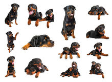 Rottweiler. Composite picture with puppy and adult purebred rottweiler in a white background Stock Photo