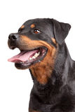 Rottweiler Royalty Free Stock Images