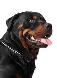 Rottweiler photos libres de droits