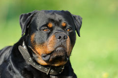 rottweiler Στοκ εικόνα με δικαίωμα ελεύθερης χρήσης