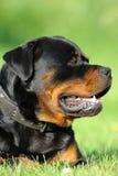 rottweiler Στοκ Φωτογραφίες