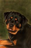 Rottweiler. An image of a cute rottweiler on a grunge style background Stock Photos