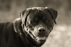 Rottweiler. The dog breed rottweiler stopped to take breath Stock Image