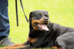 Rottweiler Royalty Free Stock Photography