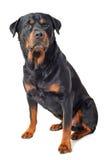 Rottweiler Lizenzfreies Stockfoto