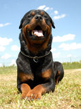 Rottweiler Royalty Free Stock Photo