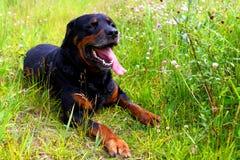 Rottweiler Images libres de droits
