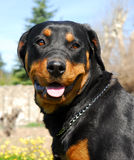 Rottweiler 3 Stock Images